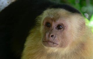 White-faced capucin monkey.